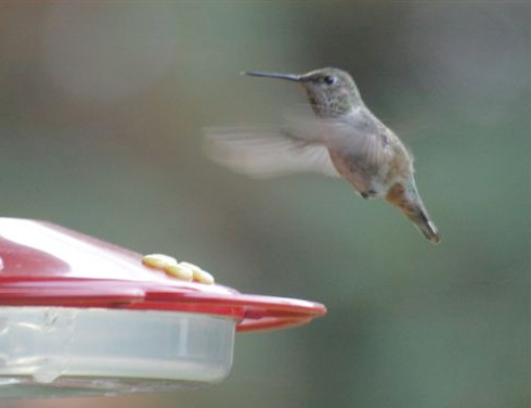Delaware Co. -- Imm Female Rufous in Swarthmore - hover faceon near feeder