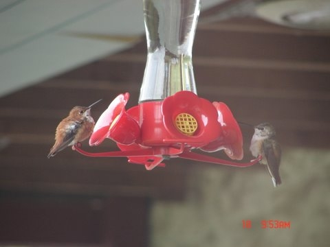 Lancaster Co. -- Both  Rufous hummers in ? Lancaster Co - on feeder