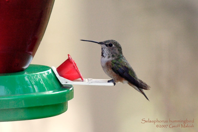Washington Co. -- Adult Female Rufous in McDonald - perched on feeder