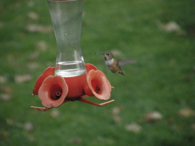 Clarion Co. -- Adult Female Rufous in Lamartine near feeder