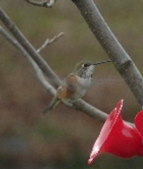 Franklin Co. -- Adult Female Rufous near feeder in Mainsville
