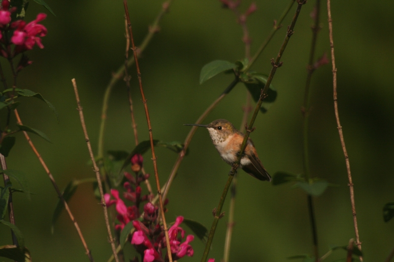 Lancaster Co. -- Imm female Rufous in Ephrata perched