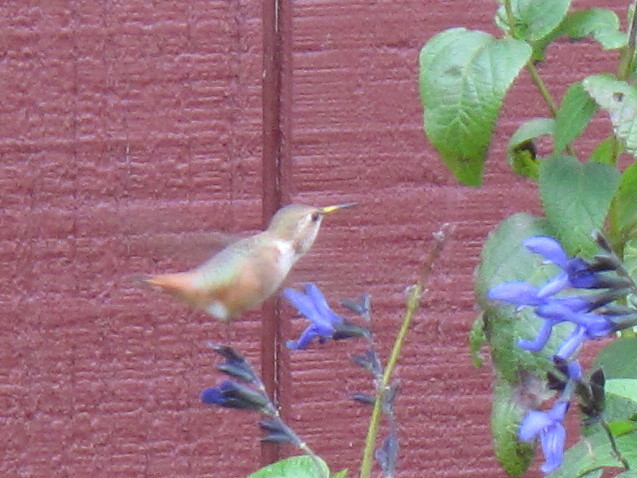 Montgomery Co. -- Imm Male Rufous in Pottstown flying