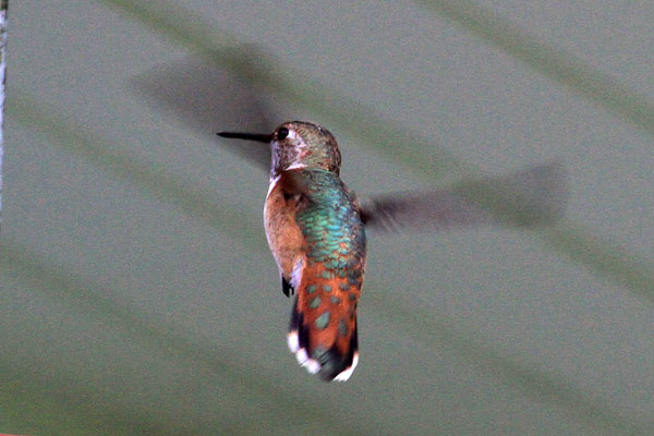 Delaware Co. -- Immature Male Rufous in Swarthmore- flying back view