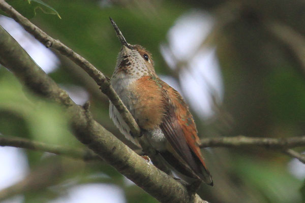 Delaware Co. -- Immature Male Rufous in Swarthmore - perched