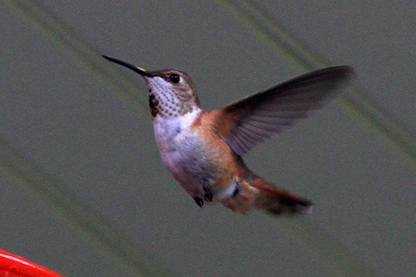 Delaware Co. -- Immature Male Rufous in Swarthmore - flying side view