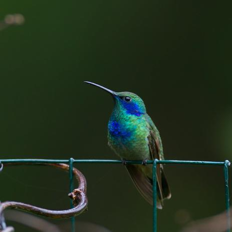 Elkton MD. -- Green Violetear perched on fence