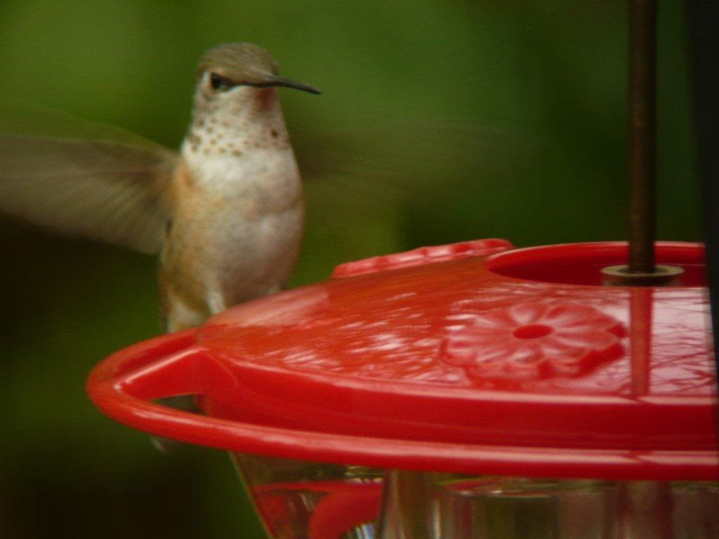 Clarion Co - Carole Winslow's probable Selasphorus on a feeder
