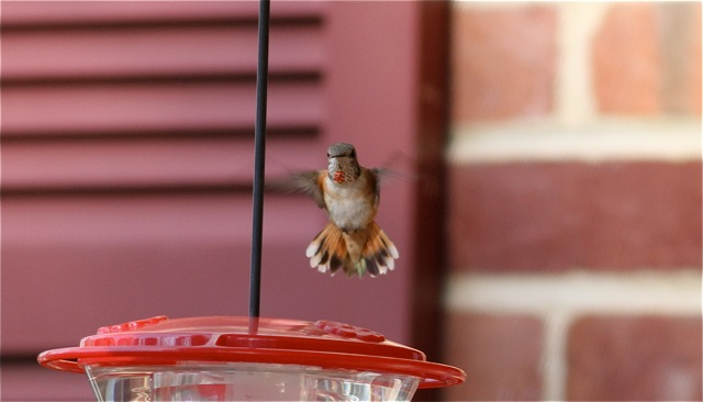 Chester Co - GB's Rufous near feeder