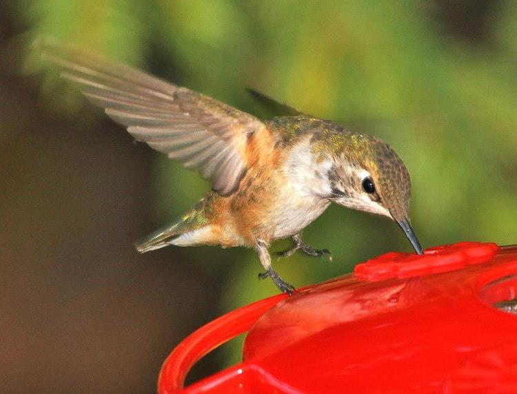 Clarion Co - Carole Winslow's Rufous hovering above feeder