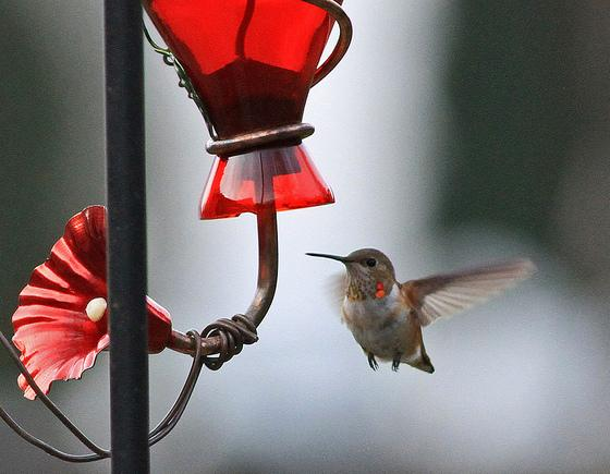 Lancaster Co - Ephrata Imm Male Rufous near feeder by Meredith Lombard on Dec 15th - gorget