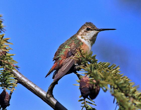Lancaster Co - Lancaster Adult Female Rufous perched showing band