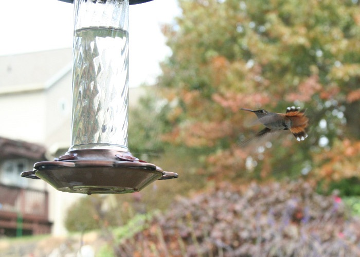 Lancaster Co - Ephrata Imm Male Rufous near feeder