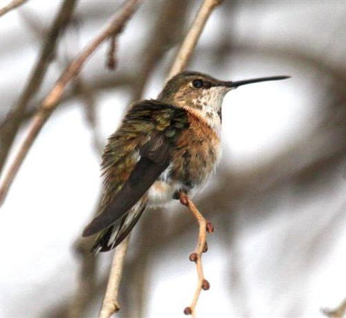 Lycoming Co - Wayne L's pic of Ad Fem Rufous in Cogan Station perched