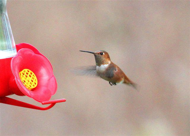 Perry Co - Marysville Ad Male Rufous near feeder by Wayne Laubscher