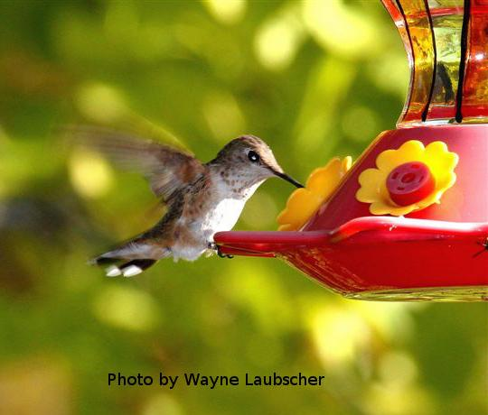 Lycoming Co - Muncy Rufous on feeder - photo by Wayne Laubscher