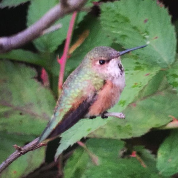 Adams Co Rufous perched - photo by Ted Nichols II