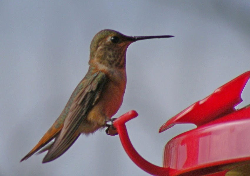Jefferson Co Rufous on feeder - photo by Vicky McG