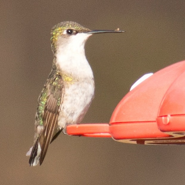 Lycoming Co hummer on feeder - photo by David Brown